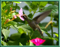Juvenile Broad-billed Hummingbird - Cynanthus latirostris