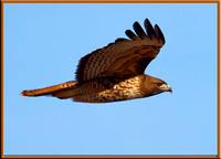 Rd-tailed Hawk