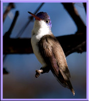 Violet-crowned - Amazilia violiceps